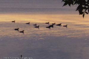 Wildlife on the lake at Spruce Lodge Resort.