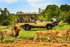 Lions at Honeyguide Tented Safari Camp.
