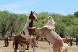 Horses playing at Circle Z Ranch.