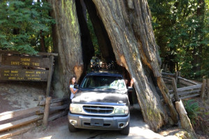 Car driving through Redwood tree at Giant Redwoods RV Park & Camp.