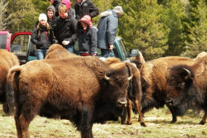 Bison interaction at Bisonquest Wildlife Vacations.
