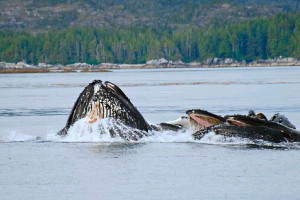 Whales at Nootka Marine Adventures.