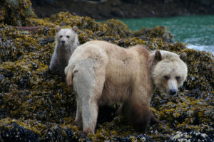 Bears at Grizzly Bear Lodge & Safari.