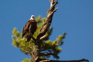 Bald eagle at Rainy Lake Houseboats.