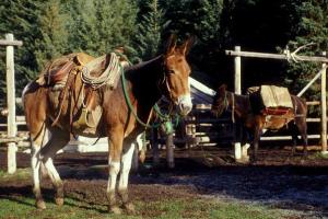 Horses at Warner Guiding & Outfitting