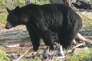 Black bear at Milton Lake Lodge Saskatchewan.
