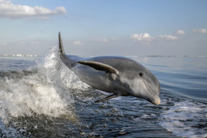 Dolphins at Sterling Shores.