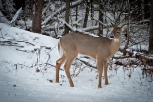 Deer hunting at Tri Lake Timbers Resort.