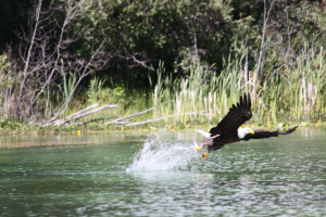 Eagle at Tyee Lake Lodge.