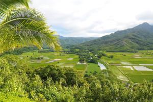 Rice fields near Kauai Calls!
