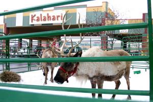 Holiday reindeer visiting Kalahari Waterpark Resort Convention Center.