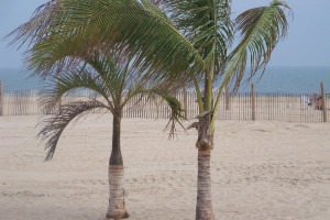 Palm trees on the beach at Plim Plaza Hotel Ocean City.