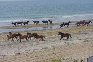 Wild horses at Outer Banks Inn.