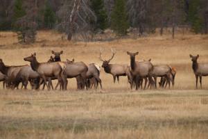 Elk at Glacier Lodge.