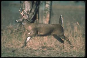 Deer hunting at Ash-Ka-Nam Resort.