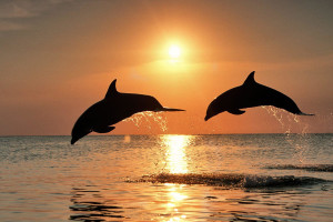 Dolphins jumping at Coral Bay Resort.