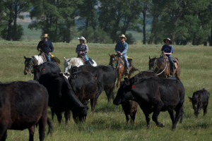 Cattle roundup at Vee-Bar Guest Ranch.