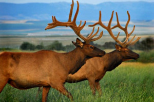 Elk at Rocky Mountain Elk Ranch.
