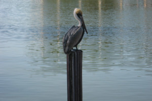 Pelican at Sunshine Resort Rentals, LLC.
