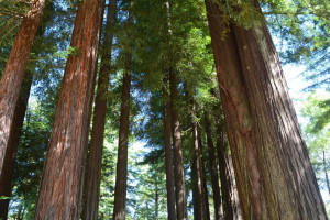 Redwood trees at Giant Redwoods RV Park & Camp.