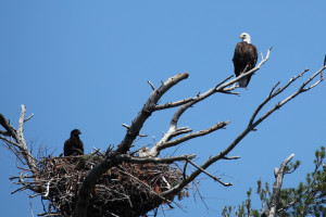 Bald eagles at Arcadia Coves.