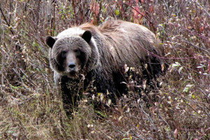 Grizzly Bear at Ecotours-BC