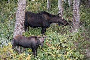 Moose at Canyon Services Vacation Rentals.