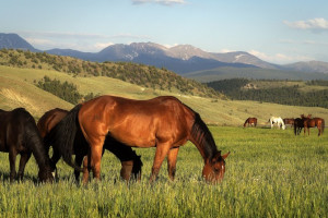 Horse grazing at C Lazy U Ranch.