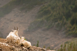 Mountain goats at Glacier National Park near North Forty Resort.