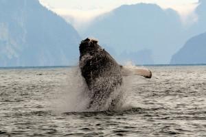 Humpback whale breaching at Kenai Fjords Glacier Lodge.