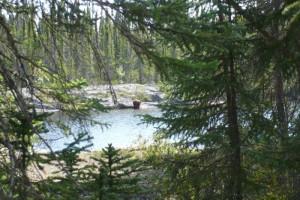 Bear at Milton Lake Lodge Saskatchewan.