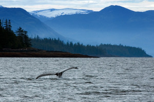 Whale watching at portsman's Cove Lodge.