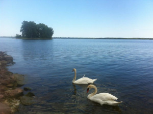 Two swans on lake at Cherry Beach Resort.
