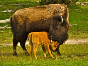 Bison near Jackson Hole Lodge.
