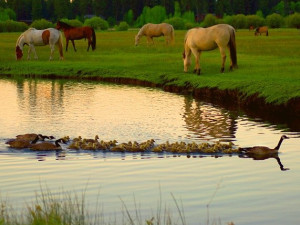 Horses And Geese at Black Butte Ranch