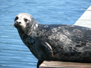 Seal on the dock Sooke Harbour Resort & Marina.