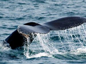 Whale watching at Best Western Seacliff Inn.