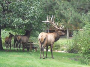 Elk at Riverview Pines.