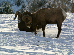Wildlife at Bighorn Meadows Resort.