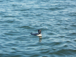 Loon on the lake at Anderson's Northland Lodge.