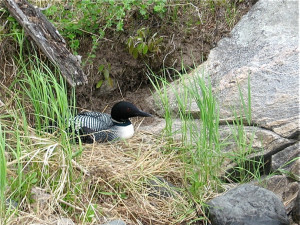 Loon nesting at Lake Of The Woods Lodge.