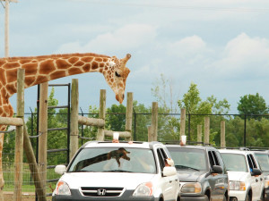 African Safari Wildlife Park near Maui Sands Resort & Indoor Waterpark.