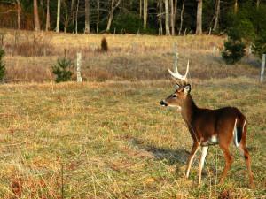 Deer at Chalet Village.
