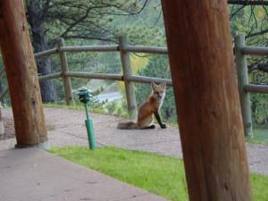 Fox at Black Canyon Inn.