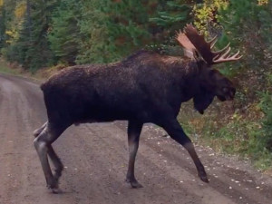 Moose at Hungry Jack Lodge.