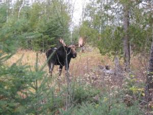 Moose sighting at Poplar Creek  B & B.