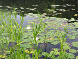 Lillies on the lake at Montfair Resort Farm near Charlottesville, VA