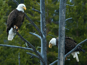 Eagles perched on tree in Island Park.