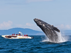 Whale watching near Humboldt House Bed and Breakfast.