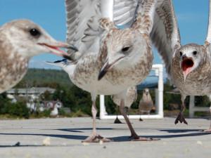 Seagulls at The Shoreline Inn.